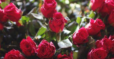 Rosen Frühlingsgefühle im Büro