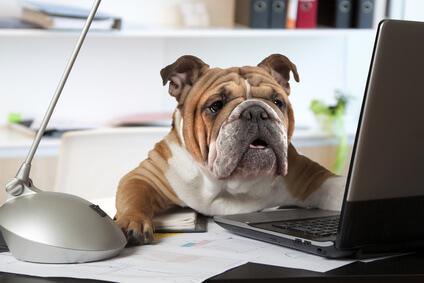 Hund im Büro: Englische Bulldogge arbeitend am Schreibtisch
